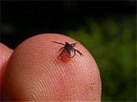 Muurahaiset alaluokat